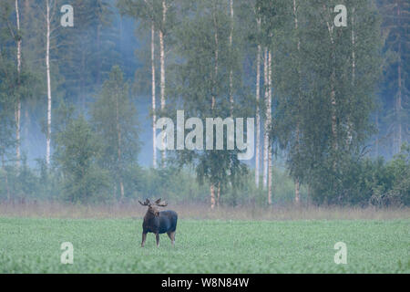 Male moose on a field with a foggy birch forest in the background - Stock Photo