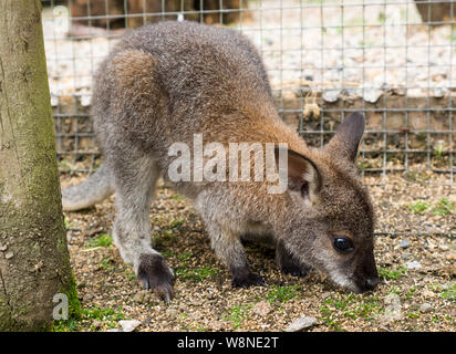 Baby wallaby at Tamar Otter & Wildlife Centre, North Petherwin, Nr. Launceston, Cornwall, UK - Stock Photo