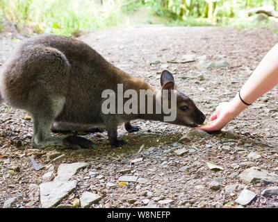 Hand feeding a wallaby at the Tamar Otter & Wildlife Centre, North Petherwin, Nr. Launceston, Cornwall, UK - Stock Photo