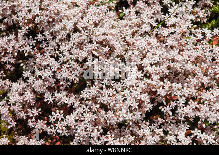 White stonecrop close up covers the ground - Stock Photo