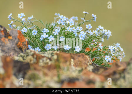 Beautiful bouquet of delicate blue flowers Alpine forget-me-not (Myosotis alpestris) grown on stones in the mountains close-up - Stock Photo