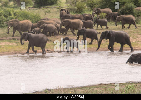 A Parade of Elephants enjoying playing near a watering hold in the Kruger National Park - Stock Photo