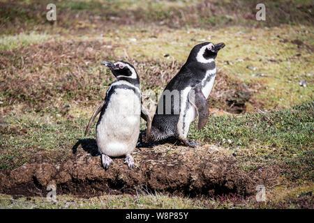 Pair of cute adult Magellanic Penguin, Spheniscus magellanicus, next to their burrow, Sea Lion Island, in Falkland Islands, British Overseas Territory - Stock Photo