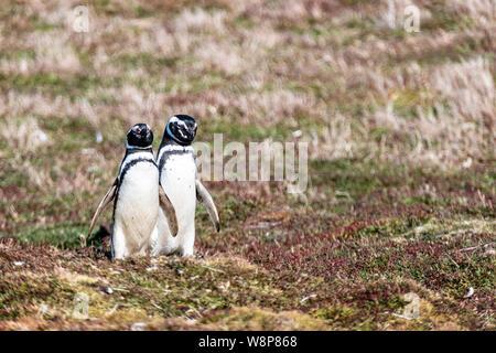 Pair of cute adult Magellanic Penguins, Spheniscus magellanicus, Sea Lion Island, in the Falkland Islands, British Overseas Territory - Stock Photo
