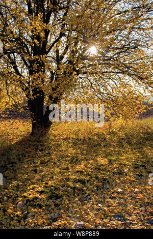 Tree with yellow autumnal leaves on the ground and  morning light shining through the tree. Photograph taken in autumn in Thuringia in Germany. - Stock Photo