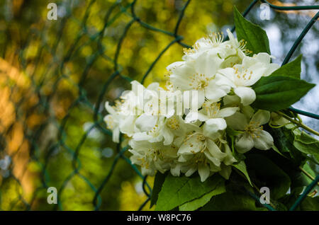 Close up of metal chain-link in the garden. White Jasmine flowers with green leaves in diamond mesh wire fence on blurred green background. Iron grati - Stock Photo