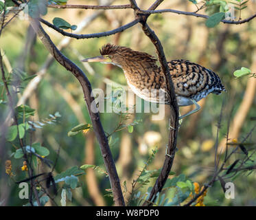 Closeup of immature Rufescent Tiger-heron (Tigrisoma lineatum) perching in a leafy tree,Panama - Stock Photo