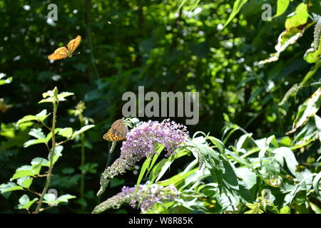 Butterfly fritillary Argynnis paphia feeding on buddleja flowers in the forest. - Stock Photo