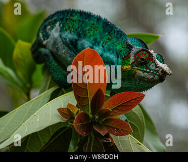 colorful male panther chameleon (Furcifer pardalis) sitting on a branch, seen in Madagascar - Stock Photo