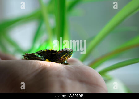 The turtle is crawling on the floor at home. Pet turtle in the room close up view. The slow animal movement. - Stock Photo