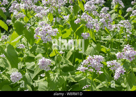 Blooming Lunaria rediviva medicinal plant of the family Brassicaceae. White purple flowers on long stems with carved leaves. Garden of medicinal plant - Stock Photo
