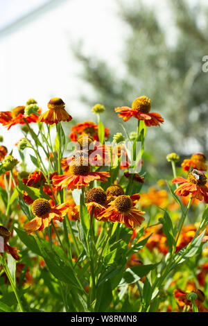 A group of Helenium in nature, a multi-flowered aster flower garden inedible bitter. Helenium bloom buds of ripe flowers, autumn garden flowers of ora - Stock Photo