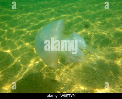 Large marine jellyfish, in a natural habitat - Stock Photo