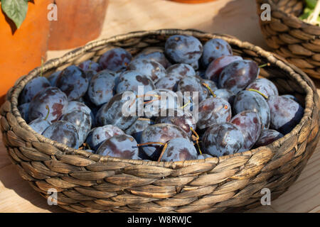 Wicker basket dish with freshly picked blue purple plums, fruit harvesting, vegetarian food raw - Stock Photo