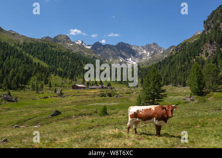 Grazing cows. Debanttal, alpine landscape. Schobergruppe massif. Austrian Alps. - Stock Photo