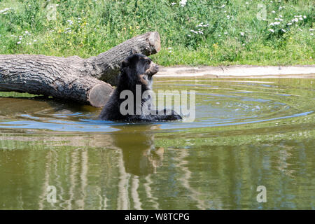 Spectacled bear enjoying a shower on a warm summer day - Stock Photo