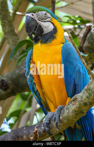 Blue-and-yellow Macaw - Ara ararauna - blue-and-gold macaw - blue and yellow | blue and gold parrot - Stock Photo