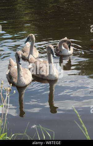 Swans and cygnets  swimming on Aire and Calder canal Knottingley West Yorkshire, UK - Stock Photo