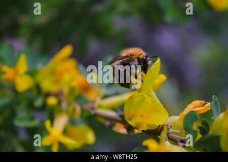 A large shaggy bumblebee collects nectar from a bright yellow flower.