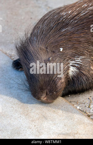 A beaver lies and sleeps on a concrete floor. Big black mustache, closed eyes, brown coat. Vertical frame. - Stock Photo