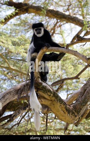Colobus monkey,Colobus guereza occidentalis, Elsamere, Kenya - Stock Photo