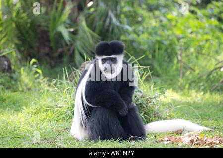 OneColobus monkey,Colobus guereza occidentalis, sitting on grass, Elsamere, Kenya - Stock Photo