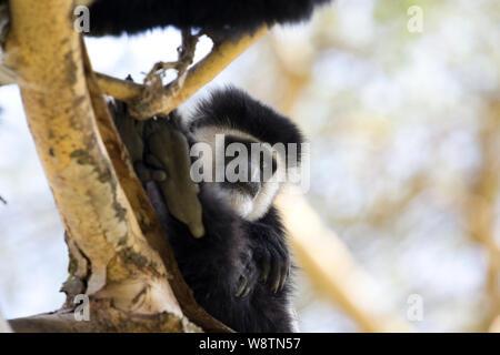 One Colobus monkey, Colobus guereza occidentalis, in Acacia tree, Elsamere, Kenya - Stock Photo