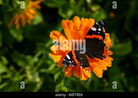 A red admiral butterfly on an orange daisy flower