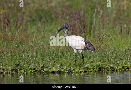 Solitary Sacred ibis, Threskiornis aethiopicus, standing at lake edge, Lake Naivasha, Kenya - Stock Photo