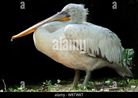 Great white pelican on a black background. The Dalmatian pelican, Pelecanus crispus, is the most massive member of the pelican family. Copy space back - Stock Photo