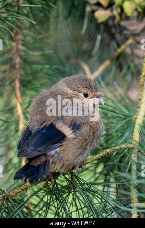 Juvenile fledgling bullfinch (pyrrhula pyrrhula) perched on pine conifer tree branches - Stock Photo