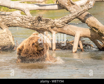 Costal Brown Bear Bathes on a Sunny Day in a Creek near the Runway at Bear Mountain Lodge, Chinitna Bay, Nikiski, Alaska, USA - Stock Photo