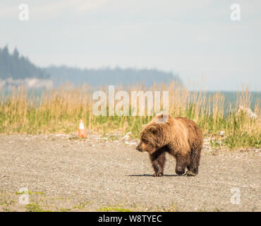 Costal Brown Bear Walks Across the Runway on a Sunny Day at Bear Mountain Lodge, Chinitna Bay, Nikiski, Alaska, USA - Stock Photo