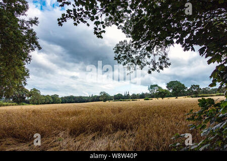 Storm clouds gather over the wheat fields of Sheffield in August - Stock Photo