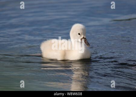 A baby mute swan cygnet swimming on a blue lake in Spring - Stock Photo