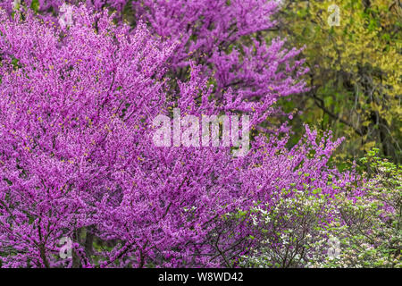 Redbud tree branches with many purple flowers blossom blooming in spring in garden backyard in Virginia during springtime - Stock Photo