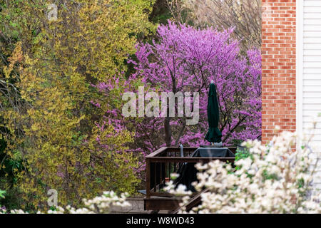 Redbud tree branches with purple flowers blooming in spring in garden backyard in Virginia during springtime with deck and house - Stock Photo