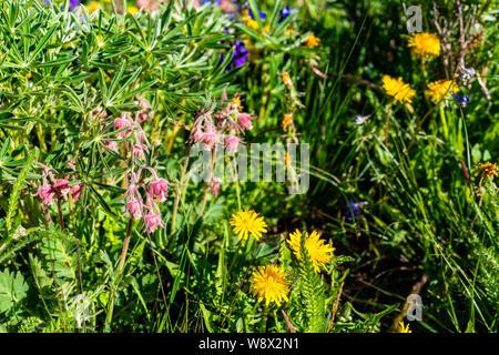 Small pink and yellow Geum triflorum Prairie Smoke flowers on Thomas Lakes Hike in Mt Sopris, Basalt, Colorado in meadow - Stock Photo