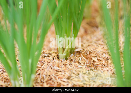 shallots growing from soil / small plant onion sprouts green seedling in the agriculture vegetable garden scallion - Stock Photo
