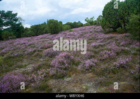 Heather in bloom - Stock Photo