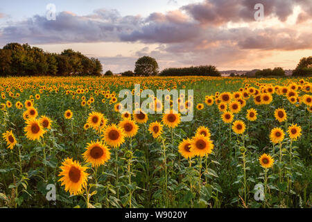 Winteringham, North Lincolnshire, UK. 11th Aug, 2019. UK Weather: Evening in a field of sunflowers in Winteringham. North Lincolnshire, UK. 11th Aug, 2019. Credit: LEE BEEL/Alamy Live News - Stock Photo