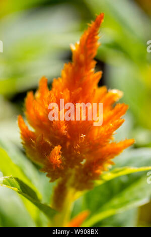 Orange panicle flowering plant Celosia argentea plumosa, inflorescence close-up. Fluffy flowers are paniculate varieties of amaranth. Selosia bright f - Stock Photo