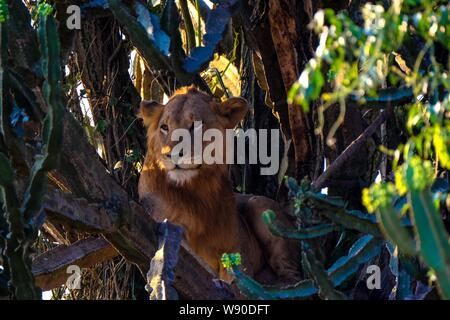 A lion sitting in the middle of trees near cactus on a sunny day - Stock Photo