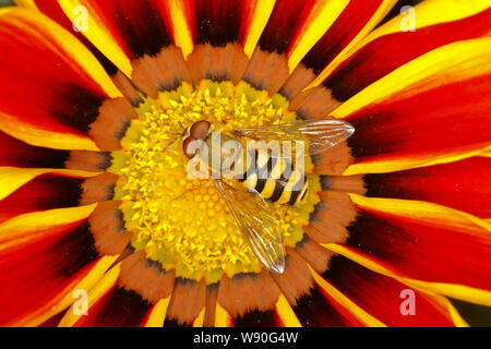 Hoverfly male on Gazania Flower Syrphus species  Essex, UK IN001071 - Stock Photo