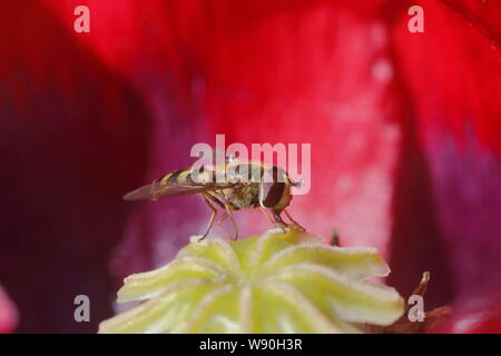 Hoverfly on Opium Poppy Flower Syrphus species Essex, UK IN001079 - Stock Photo
