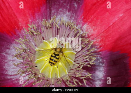 Hoverfly on Opium Poppy Flower Syrphus species Essex, UK IN001083 - Stock Photo