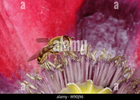 Hoverfly on Opium Poppy Flower Syrphus species Essex, UK IN001085 - Stock Photo