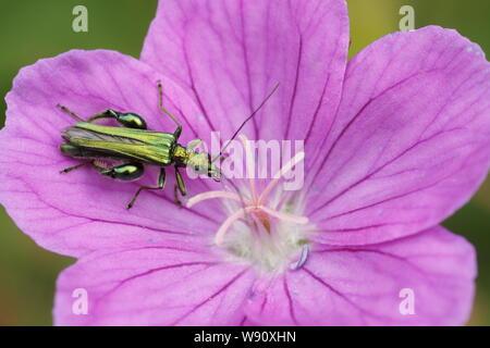 Thick-legged Flower Beetle - on Geranium flower Oedemera nobilis Essex, UK IN001123 - Stock Photo