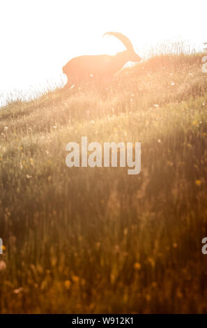 backlit silhouette of an male ibex in the swiss alps - Stock Photo