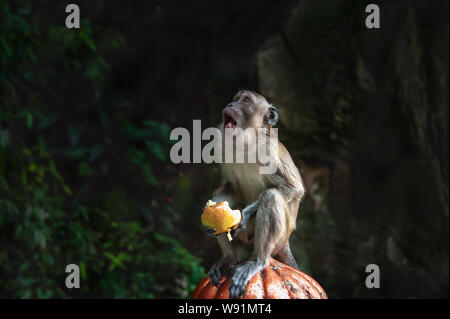 Long-Tailed Macaque at the Batu Caves, Kuala Lumpur, Malaysia - Stock Photo